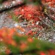 小原四季桜、満開には程遠い、11月20日頃が見頃、リベンジして見たいと思って居る