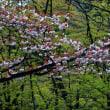 卯辰山の八重桜