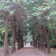 新緑のメタセコイア並木&古緑のサワラ並木 大谷翔平力投