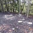樅の木伐採