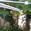 家庭菜園 平成29年8月19日(土)きゅうりの観察日誌