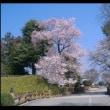 ~桜~さくら~