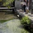 醒ヶ井地蔵川の梅花藻 滋賀県