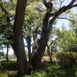 センダンの樹の花盛り