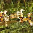 池のオシドリ
