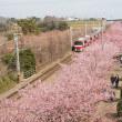 京急の赤い電車と河津桜のコラボ