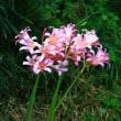 566号 フルーツ月下美人の開花。ナツズイセン。リコリス スプレンゲリー。シロネ。