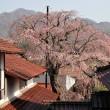 金秀寺のしだれ桜