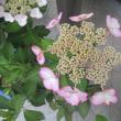 円覚寺 イワタバコ、タイサンボク、咲く