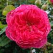 雨が降る前に、ベンジャミンブリテン(二番花)が咲いています