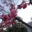 北沢川緑道のオカメ桜  2018