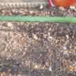 タマネギの芽が緑色に