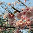 大寒桜を見る