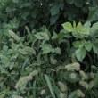 植物の漢字狗尾草