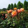 新宿御苑(紫陽花)