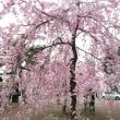 🌸花見に行ってきました🌸