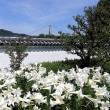 コチドリ ・・・ 川西の猪名川で (6/17)