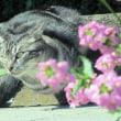 oneboke みちこ今日の庭 薔薇シャルダンドゥフランス と 猫がねずみを追う理由