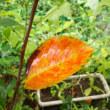 8月真夏日ゼロ 毎日雨 庭の落葉樹が紅葉