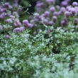 ハーブ庭園の彼岸花とその他の彼岸花