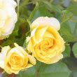 キイロノ薔薇。