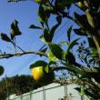 アイキ農園の蜜柑