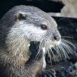 ときわ動物園 コツメカワウソのリンちゃんのジャグリング