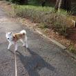 ハナちゃん お散歩