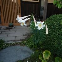 百合の花。
