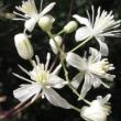 ボタンヅルの花!