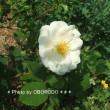 お庭に勝手に謎の花木が生えますの