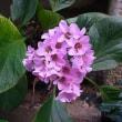 季節の花「ヒマラヤ雪ノ下」