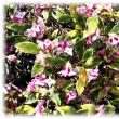 春の花(^^♪沈香と丁香のすばらしい香りを漂わせる「沈丁花 (じんちょうげ)」の花