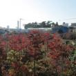 快晴です-雲もありません 隣の畑は紅葉です! 府中ですが・・