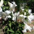 カサブランカが咲きました。