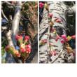 今日の桜の花芽