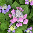 梅雨入り 紫陽花など