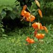 百合が原公園のユリ 赤・橙