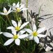 庭に咲いたハブランサス