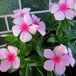 日日草(にちにちそう)という花
