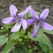季節の花「菫 (すみれ)」