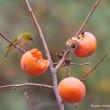 熟柿をあじわうメジロ