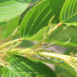 花後のサクラの木(2)
