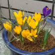 季節の花 クロッカス