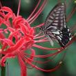 ナミアゲハ蝶