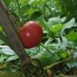 トマト腐る