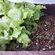 今日の1日1枚の庭野菜の収穫はレタスとラデイッシュです。