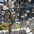 サクランボの花が満開です。