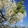 富士山 「お茶畑彩追い  4回目 ⇒ なんとなく、不安心が... 」 。 えっえ、こんなに早く ( ^)o(^ )
