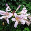 ピンクの花✿